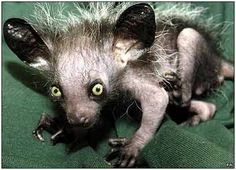The Aye-aye is a strepsirrhine native to Madagascar that combines rodent-like teeth with a long, thin middle finger to fill the same ecological niche as a woodpecker. It is the world's largest nocturnal primate, and is characterized by its unusual method of finding food; it taps on trees to find grubs, then gnaws holes in the wood and inserts its elongated middle finger to pull the grubs out.