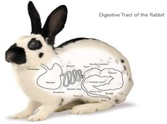 A rabbit's digestive system is very delicate and needs to be taken care of by a rabbit's owner