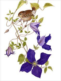 Clematis Durandii & Wren botanical water colour print