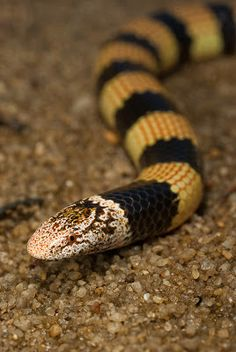 Desert Banded Snake (Simoselaps bertholdi) also known as the Jan's Banded Snake