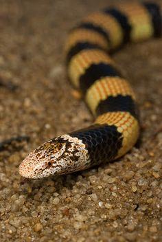 Desert Banded Snake (Simoselaps bertholdi) also known as the Jan's Banded Snake