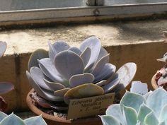 Echeveria gibbiflora Metalica x laui