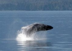 Alaska and Beyond Through Artists' Eyes: Humpback Whales Put on a Show in Frederick Sound