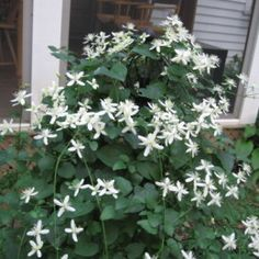 Clematis terniflora or sweet autumn clematis is a vigorous and hardy semi-evergreen (or deciduous) vine that can climb up to 30 feet.