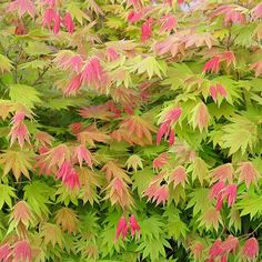 Buy maple Acer shirasawanum 'Moonrise ('Munn (PBR)' - Bright red initially, the foliage turns a fresh yellow-green: Delivery by Waitrose Garden Cottage Garden Plants, Pink Garden, Garden Trees, Trees To Plant, Shade Garden, Japanese Maple Varieties, Japanese Maple Garden, Japanese Garden Style, Japenese Maple