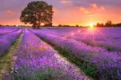 Lavender field by SiewLam Wong on 500px