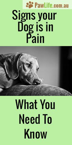 It's never easy seeing your furbaby in pain. Here are 6 common signs your dog is in pain. #signsyourdogisinpain #signsyourdogisinpain #doghealth #dogcare #vetcare #silentsignsdogs #dogs #pets #animals