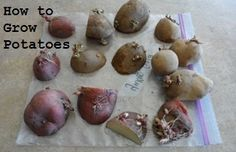 Growing potatoes is a fun activity the whole family can enjoy. They can be grown in trenches or in containers