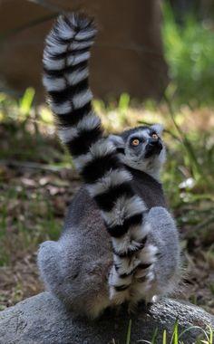 Lemur Walk exhibit at the San Diego Zoo Safari Park   photo by Todd Lahman