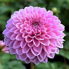 DAHLIA 'Sandra' (Dahlia boule) : Vivaces originaires du Mexique et d'Amérique centrale. Les différentes formes de fleurs et leurs sublimes coloris font du Dahlia un complément de décor indispensable aux massifs d'été et d'automne. Planter dans un sol riche et bien drainé, enterrer le tubercule sous 10 à 15 cm de terre. Dahlia boule (fleurs doubles en boule, pétales en spirale sur plus de la moitié de la longueur et arrondis à leur extrémité). Fleurs vieux rose.