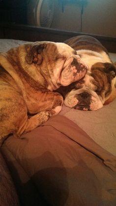 Cuddling Bulldogs • via bulldog pics on fb
