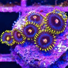 Blow Pops coral