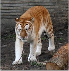 Extremely+Rare+Animals+ +...+extremely+rare+animal+and+can+be+found+only+in+captivity+the+very+rare