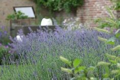 So your lavender will stay beautiful! Growing Lavender, Romantic Cottage, Love Garden, Garden Living, Natural Garden, Edible Flowers, Small Gardens, Growing Plants, Garden Inspiration