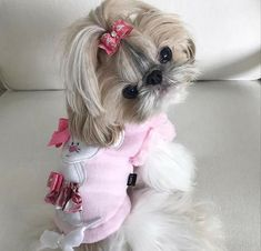 Get healthy and ethically bred Shih Tzu puppies for sale, Shih Tzu dogs for a. Shih Tzu Hund, Perro Shih Tzu, Baby Shih Tzu, Shih Tzu Puppy, Shih Tzus, Pug Puppies For Sale, Cute Puppies, Cute Dogs, Teacup Puppies