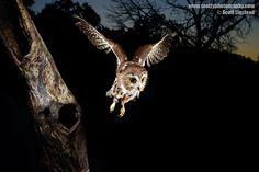 Saw-Whet Owl in Flight by Scott Linstead, via 500px