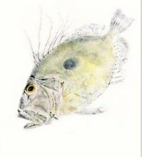 source : gyotaku by christopher dewees (fish)