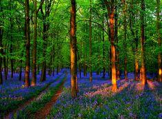 Spring Bluebells, Ringshall, England  photo via johanna