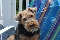 Welsh terrier - My boy Max sunning by the pool!
