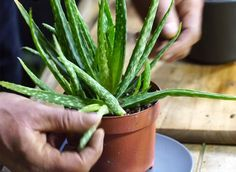 How to cut aloe vera: step by step video - Jardinage - Flowering House Plants, Cactus House Plants, Garden Plants, Aloevera Plante, Container Plants, Container Gardening, Plant Containers, Herb Gardening, Home Vegetable Garden