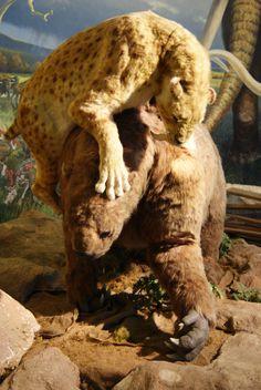 Smilodon attacking a giant ground sloth