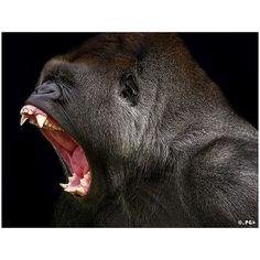Gorila,..... angry gorilla