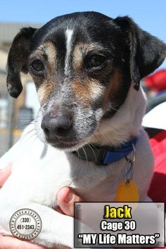 Meet 30 Jack, a Petfinder adoptable Jack Russell Terrier Dog | Canton, OH | Release date 4/1.  Poor Jack, he is an owner surrender, and has been bounced around a bit lately. ...