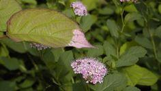 rosa_växter_i_ trädgården_amj Perennial Plant, Perennials, My Design, Garden, Plants, Garten, Lawn And Garden, Gardens, Plant