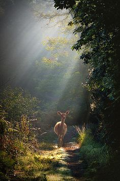 Deer on a forest path. Beautiful Creatures, Animals Beautiful, Photo Animaliere, Walk In The Woods, Tier Fotos, Jolie Photo, Nature Animals, Amazing Nature, Beautiful World