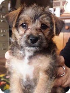 Chicago Il Yorkie Yorkshire Terrier Shih Tzu Mix Meet Frankie A Puppy For Adoption Yorkie Yorkshire Terrier Puppy Adoption Yorkshire Terrier