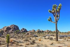Joshua Tree National Park - things to do in California - http://travelingcanucks.com/2013/01/things-to-do-in-palm-springs-california/