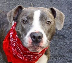 Manhattan Center DIAMOND – A1071534 FEMALE, GR BRINDLE / WHITE, STAFFORDSHIRE MIX, 1 yr, 4 mos OWNER SUR – EVALUATE, NO HOLD Reason PET HEALTH Intake condition UNSPECIFIE Intake Date 04/26/2016, From NY 10452, DueOut Date 04/26/2016,