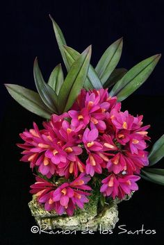 Dendrobium laevifolium 'Sam's Choice' - Flickr - Photo Sharing! - Google Search