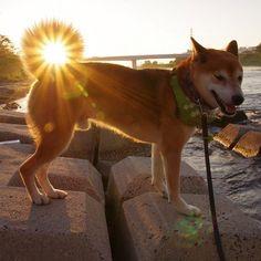 朝日と柴犬 morning sun catching #shibainu #shiba