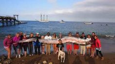 18-Foot Oarfish Found on Catalina Amazes Scientists, Campers