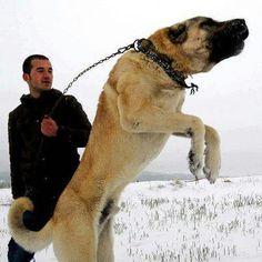 KANGAL (Anatolian Sepherd Dog) on Pinterest   Kangal Dog, Shepherd ...