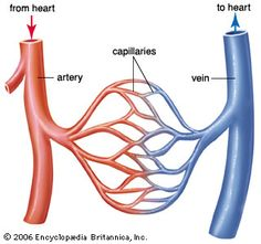 the o 39 jays and circulatory system on pinterest : blood vessels diagram - findchart.co