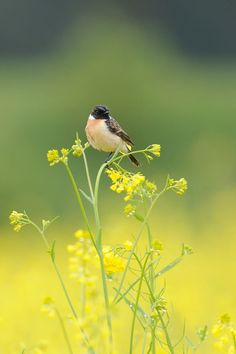 In Yellow ! , African Stonechat by Mubi.A