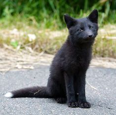 Little black fox ❤️ Nature Animals, Animals And Pets, Baby Animals, Funny Animals, Cute Animals, Strange Animals, Beautiful Creatures, Animals Beautiful, Pet Fox