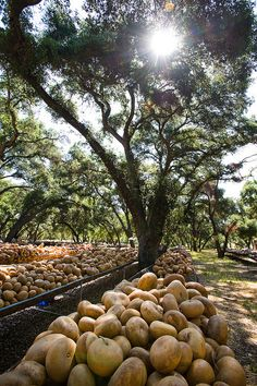 Thousands of gourds - Welburn Gourd Farm in Fallbrook CA