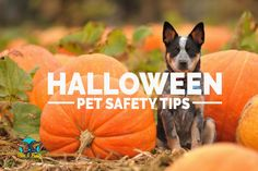 Pets can find this time of year very distressing & scary. We're coming up to Halloween at the end of the month and that means fireworks, bangers, more callers to the front door and generally Sausage Dogs, Looking Dapper, Safety Tips, Training Tips, Fireworks, Chihuahua, Lifestyle, Halloween, Pets
