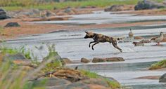 Wild Dog crossing the Olifants River on the near Olifants camp Kruger National Park, National Parks, African Wild Dog, Apex Predator, Wild Dogs, Leopards, Hunting Dogs, Dog Walking, Wildlife Photography