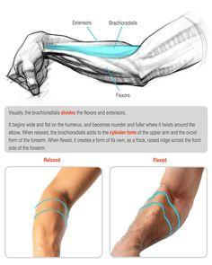 Stan Prokopenko Arm Anatomy, Gross Anatomy, Human Anatomy Drawing, Human Body Anatomy, Anatomy Poses, Anatomy Study, Anatomy Practice, Arm Drawing, Body Drawing