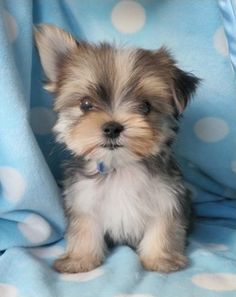 Cute  Adorable Yorkshire Terrier Puppy
