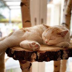 Lekker slapen en spelen op een natuurlijke boomstam krabpaal. www.decoratietakken.nl Cats, Animals, Inspiration, Biblical Inspiration, Gatos, Animales, Animaux, Animal, Cat