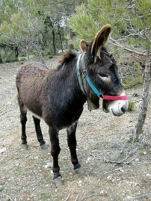 The Catalan donkey is related to the donkey of Mallorca and the zamorano-llionés donkey. The breed is considered to be very old; Pliny the Elder mentioned that there were donkeys on the plain of Vic(Osona).[citation needed]  In the past the donkey was very important on farms but due to declining use and numbers the Catalan donkey was in danger of extinction. There once were as many as 50.000, but these days there are only about 500 left, of which more than 100 are outside Catalonia.