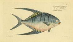 Antique fish illustration. Ichthyologie; ou, Histoire naturelle des poissons, Berlin,Chez l'auteur,1796. Biodiversity Heritage Library