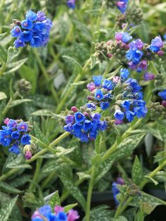 Pulmonaria Bertram Anderson - lungwort - gorgeous color, pink blossoms to blue blooms - clay - wet site tolerant - sun Blue Garden, Colorful Garden, Shade Garden, Garden Plants, Amazing Gardens, Beautiful Gardens, Dark Blue Flowers, Purple Plants, Deciduous Trees