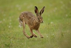 Brown Hare, running on air May. Suffolk. Lepus europaeus