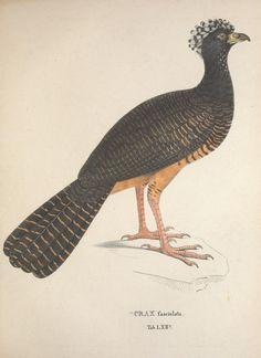 Avium species novae, quas in itinere per Brasiliam annis MDCCCXVII-MDCCCXX /. Monachii :Typis Franc. Seraph. Hübschmanni,1824-1825.. biodiversitylibrary.org/page/41278160